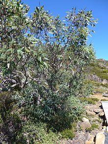Eucalyptus coccifera - Wikipedia