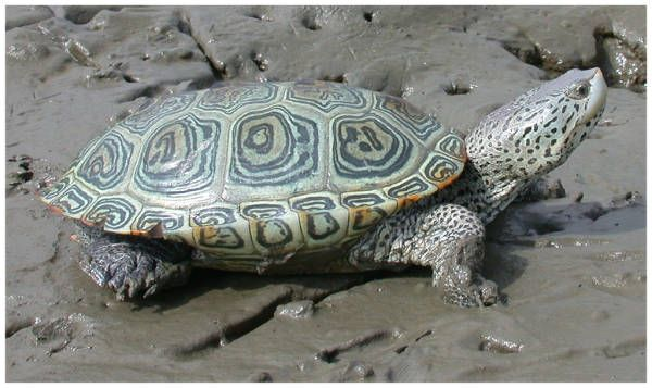 Scheda della Tartaruga dal dorso di diamante. Habitat di vita e comportamento in natura della malaclemys terrapin terrapin.