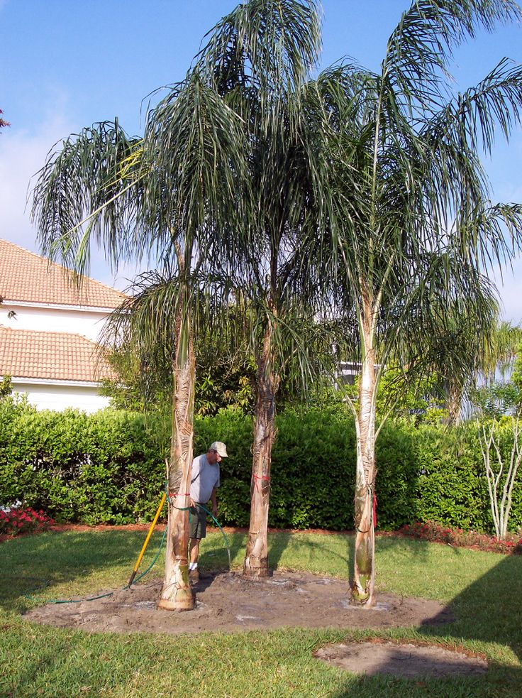 Buy Queen Palm Trees Syagrus romanzoffiana Palms - #PalmTrees RealPalmTrees.com…