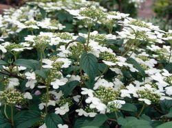 Japanischer Schneeball 'Summer Snowflake' - Viburnum plicatum 'Summer Snowflake' <3