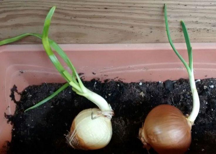 Con la llegada de la primavera me encanta comprar alimentos para plantar en casa después de su consumo. ¿No sabes qué productos se regeneran si los cultivamo