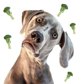 """""""Dogs are carnivores and need meat to thrive."""" FACT: All of those commercials and ads depicting your dog and a wolf as one and the same? According to science, t"""