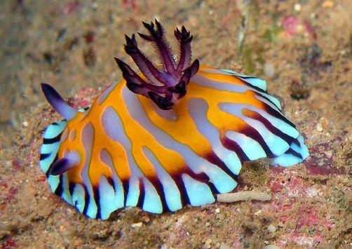 Chromodoris roboi is a species of colorful sea slug, a dorid nudibranch, a marine gastropod mollusk.