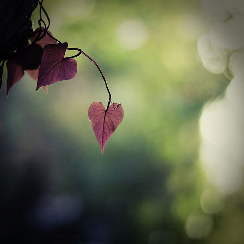 dangle by the cheshire smile, via Flickr: Cheshire Smile, Heart Leaf, Leaf Heart, Red Leaves, Pink Heart, Heart Shape Trees Leaves, Beautiful Photography, Natural Heart, Photography Inspiration