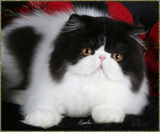 gato persa branco preto                                                                                                                                                                                 Mais
