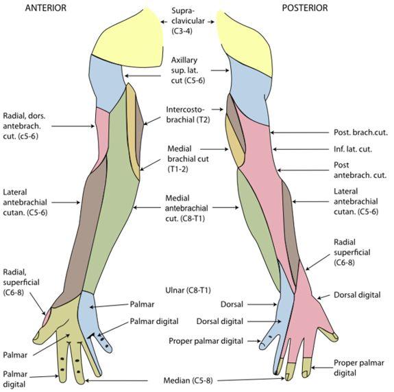 Spinal Nerves: Cervical, Thoracic, Lumbar, Sacral