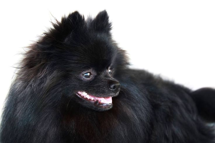 Black Pomeranian - Black German Spitz - Kleinspitz