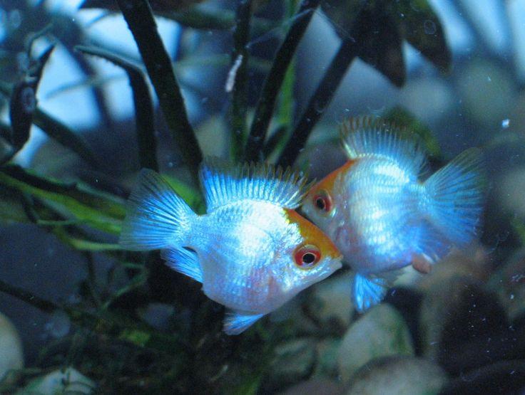 Rdlee100 S Image Tetra Fish Electric Blue Ram Cichlids