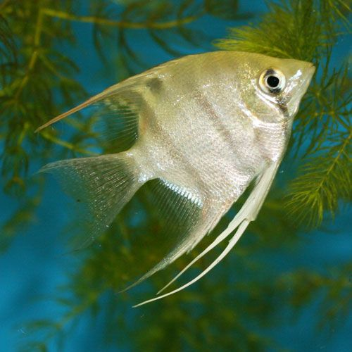 17 Best Images About Freshwater Fish On Pinterest