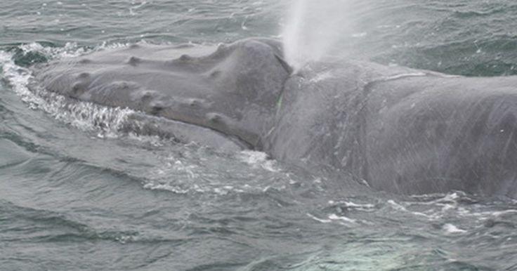 ¿Cuán rapido nada una ballena?. La familia de las ballenas incluye a la criatura más grande que jamás habitó el planeta tierra, la ballena azul. Esta ballena puede alcanzar longitudes de hasta 30 metros de largo y pesar más de 120 toneladas. Sería difícil de imaginar algo tan grande y también con la capacidad de ser tan veloz, pero ellas están cuando necesitan estar. Como veras, ...