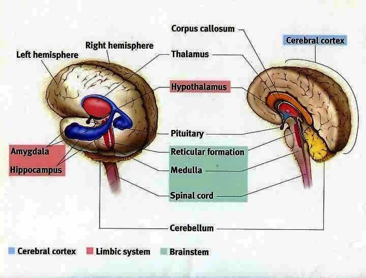 Simple Limbic System Diagram | Brain Images | Pinterest