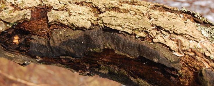 Nature Today | De twee gezichten van de Zwarte korstkogelzwam