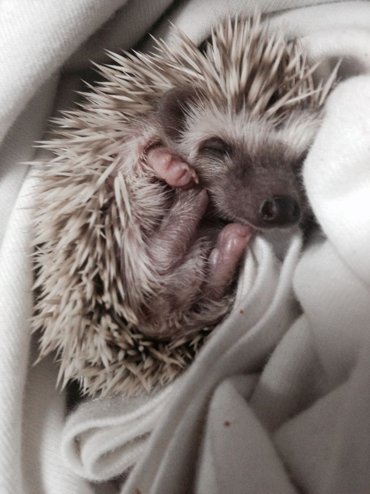 Sleepy little hedgehog