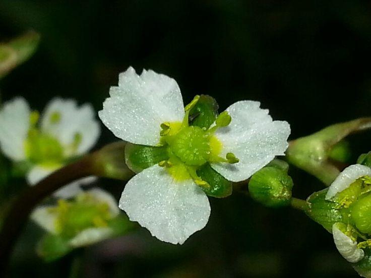 Alisma plantagoaquatica