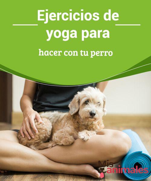 """Ejercicios de #yoga para hacer con tu #perro Hace unos meses te hablamos de Pancino, un #simpático chihuahua conocido por hacer yoga junto a su dueño. Esto llamó la #atención de muchos lectores. Pero no es nada nuevo, ya que desde hace unos años existe el """"doga"""", yoga con perros."""