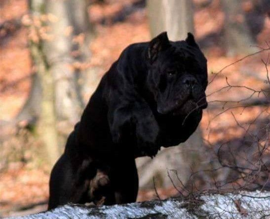 Puppies for Sale-Cane Corso