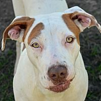 Pictures of 10313430 Paris a Pointer for adoption in Brooksville, FL who needs a loving home.