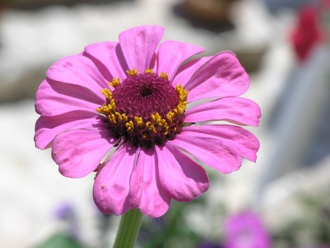purple zinnia at our veranda