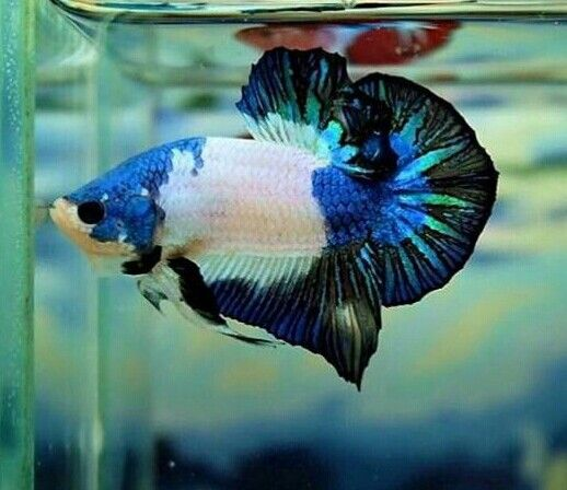 Mejores 1226 im genes de betta fighting fish en for List of fish that can live with bettas