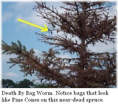 bagworm-infestation-on-spruce - a more entertaining version of the lifecycle...