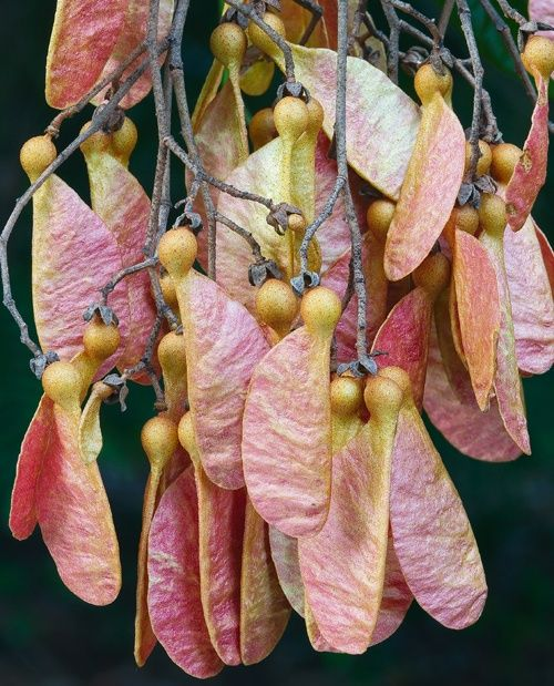 """Fruit of White Booyong: Anzang ..... visually exciting,here,means the discovery of the taupe stems holding the distinctive fruit of the maple: samaras or """"maple keys""""."""