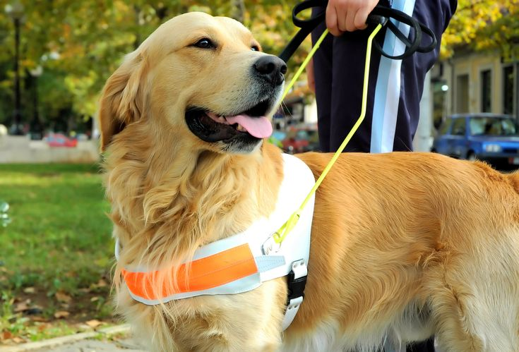 A vakvezető kutyának is folyamatosan tanulnia kell!  #kutya #dog #vakvezető #guidedog #tanulás #learning #kutyabarathelyek  #kutyabaráthelyek
