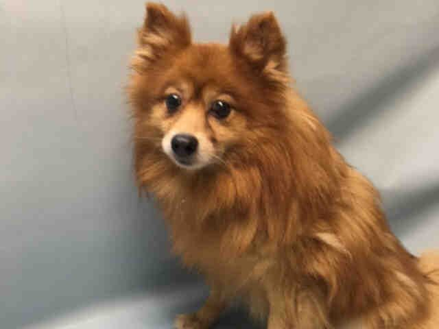 07/16/2016 Brooklyn Center NYC ADOPT SENIOR EX-PET PAPI – A1081249 UNKNOWN GENDER, BROWN, POMERANIAN MIX, 7 yrs, Intake condition EXAM URGENTLY REQUIRED TO DETERMINE HEALTH AND TEMPERAMENT BEFORE ADOPTION CAN TAKE PLACE,  Intake Date 07/14/2016, From NY 11211, PAST Due Out Date 07/17/2016, I came in with PEAR - A1081252 a matted senior Yorkshire terrier in urgent need of a groom and an assessment / examination too.