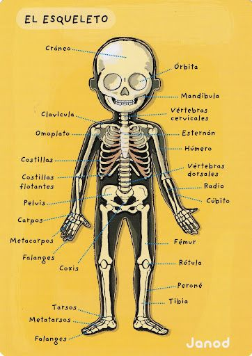 El esqueleto humano - for 8th graders - have them give the English scientific name for each bone, so they can see how the names are similar between the languages! #learn #spanish #kids