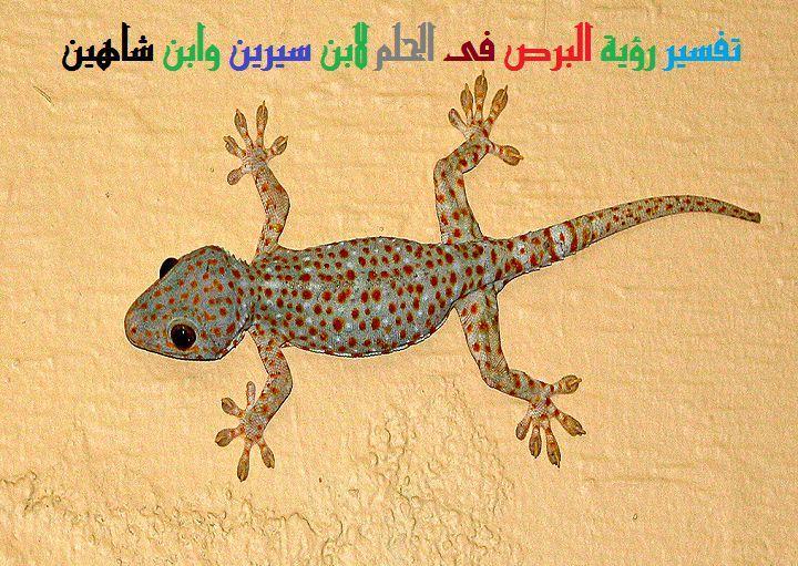 تفسير رؤية البرص أو الوزغ فى الحلم لابن سيرين وابن شاهين موقع مصري Lizard Animals Gecko