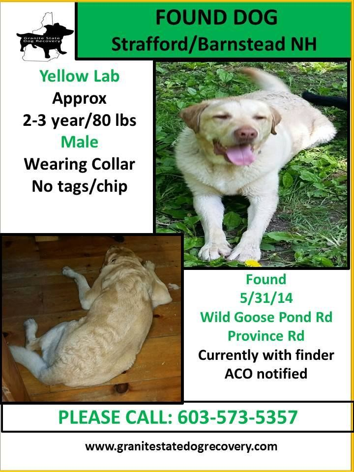 6/4/14-THIS DOG IS NOW WITH Cocheco Valley Humane Society at 603-749-5322   Found Male Yellow Lab Strafford/Barnstead NH 5/31/14 Approx. 2-3 years/80 lbs, wearing collar. No tags/chip. Found near Wild Goose Pond Rd & Province Rd. Currently with finder. ACO notified. Please call if you recognize him: 603-573-5357