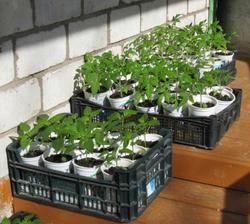 Смело можно сажать, если около 5 дней она более + 8 0С. При такой температуре томаты растут, если же холоднее, рост их останавливается и реанимировать их будет очень сложно