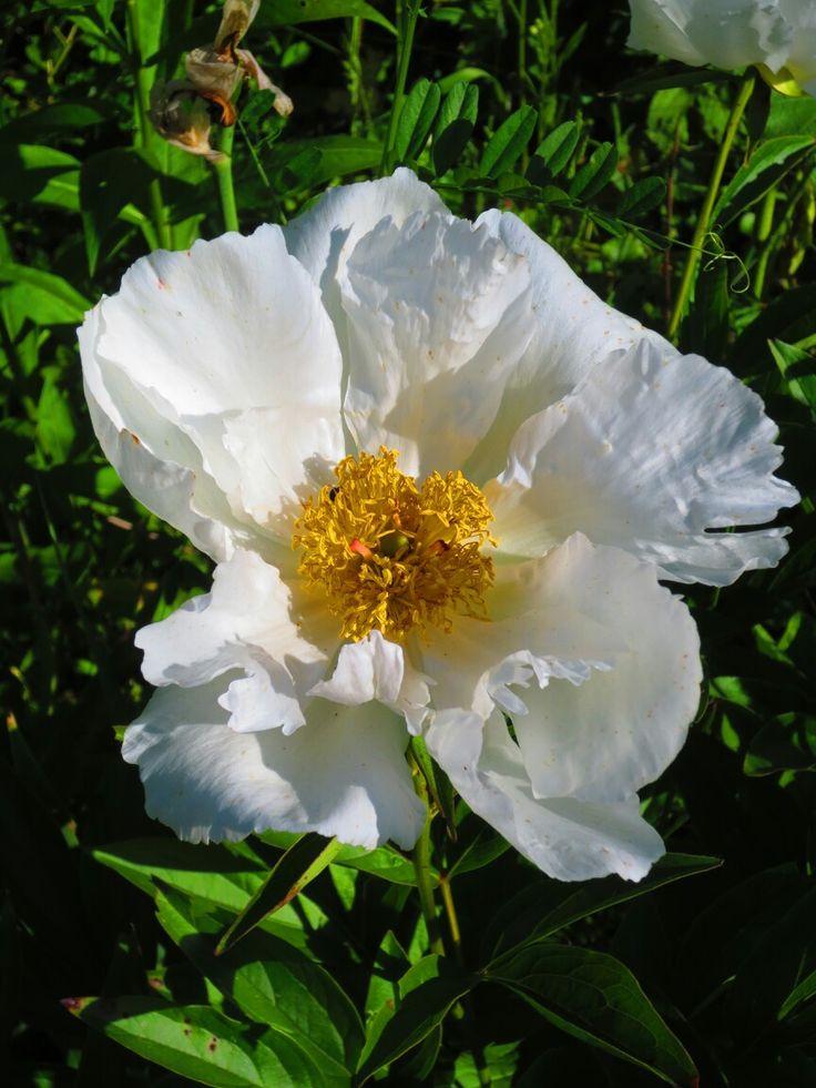 White peon in my garden