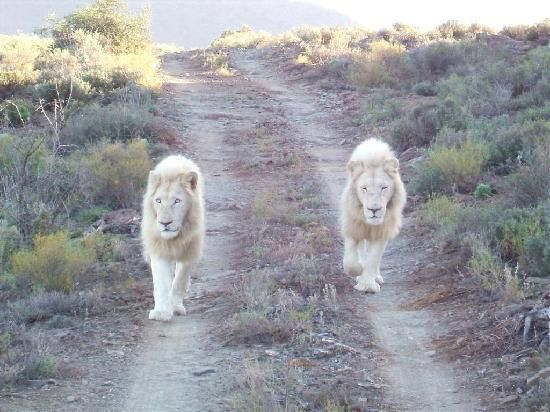 Lions coming for a visit near our vehicle.. Sabona Game Park