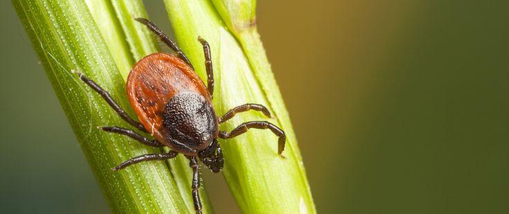 Het aantal teken in Nederland groeit gestaag, evenals het aantal besmette teken. In dit artikel natuurlijke tips voor uw dier en u.
