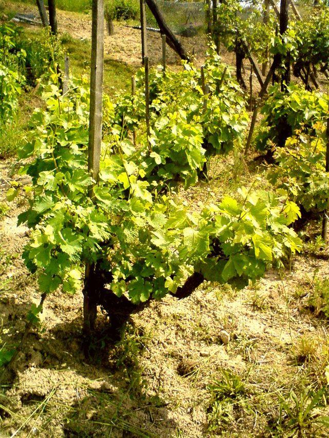 Vinařství Koráb - vína starých vinic