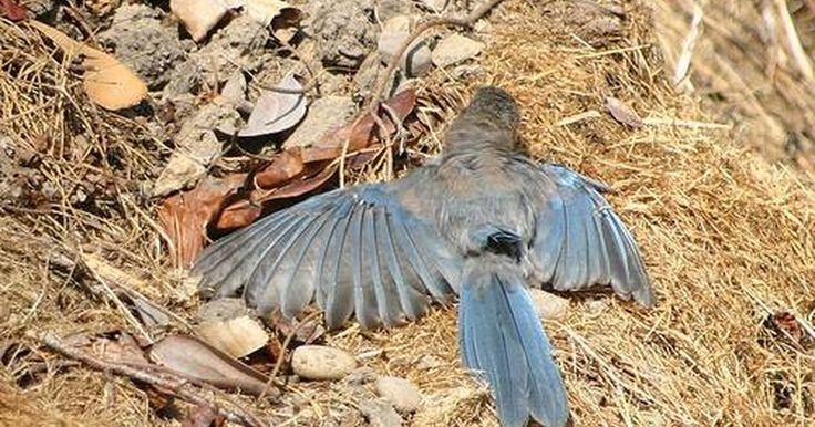 Cómo matar los ácaros en los pájaros. Los ácaros de los pájaros son parásitos que viven en aves domésticas y salvajes. Suelen quedarse en los pájaros o en sus nidos toda su vida, pero si muere un ave o abandona el nido, los ácaros buscarán otros huéspedes que pueden ser incluso seres humanos. Estos ácaros no se pueden reproducir en la sangre humana y raramente transmiten enfermedades, ...