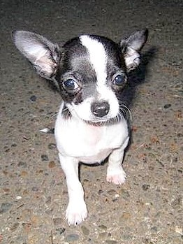 chihuahua black and white best 25 white chihuahua ideas on pinterest chihuahua 4711