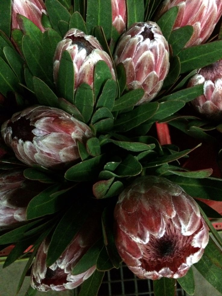 Pink ice proteas