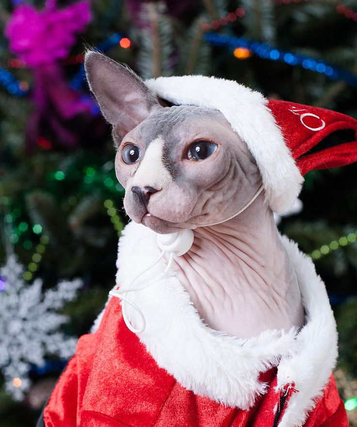 Grand concours d'avatar de Noël 2017 ! - Page 5 B62f44073db807e536faf1c531975de6--hairless-cats-sphynx-cat