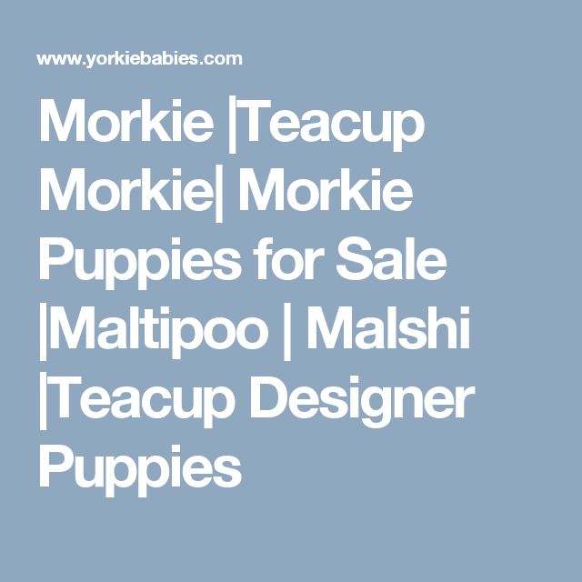 Morkie |Teacup Morkie| Morkie Puppies for Sale |Maltipoo | Malshi |Teacup Designer Puppies