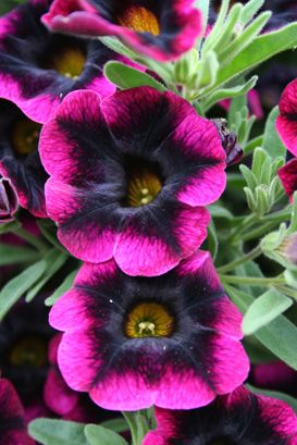 Superbells Calibrachoa Blackberry Punch....abundant small petunia-like flowers all season, low maintenance, attracts hummingbirds and deadheading is not necessary....my type of flower!