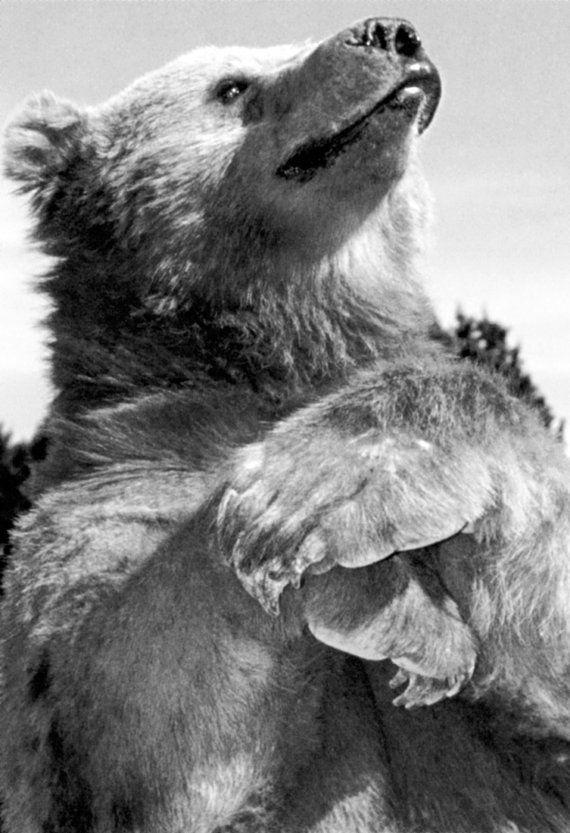 Hallo, ist dies ein brandneues Grizzlybär-Plakat. Es misst 13 x 19 in und auf schönes Plakat Papier gedruckt wird. Alle Bestellungen werden innerhalb von 2 Werktagen in einer schützenden Rohr Postanschrift versandt. Bitte zögern Sie nicht, uns bei Fragen zu kontaktieren. Vielen Dank