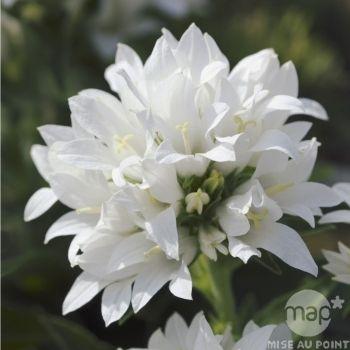 Campanule agglomérée blanche Alba : godet