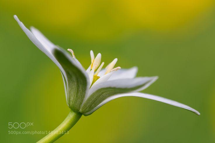 Ornithogalum flower by widelab. @go4fotos