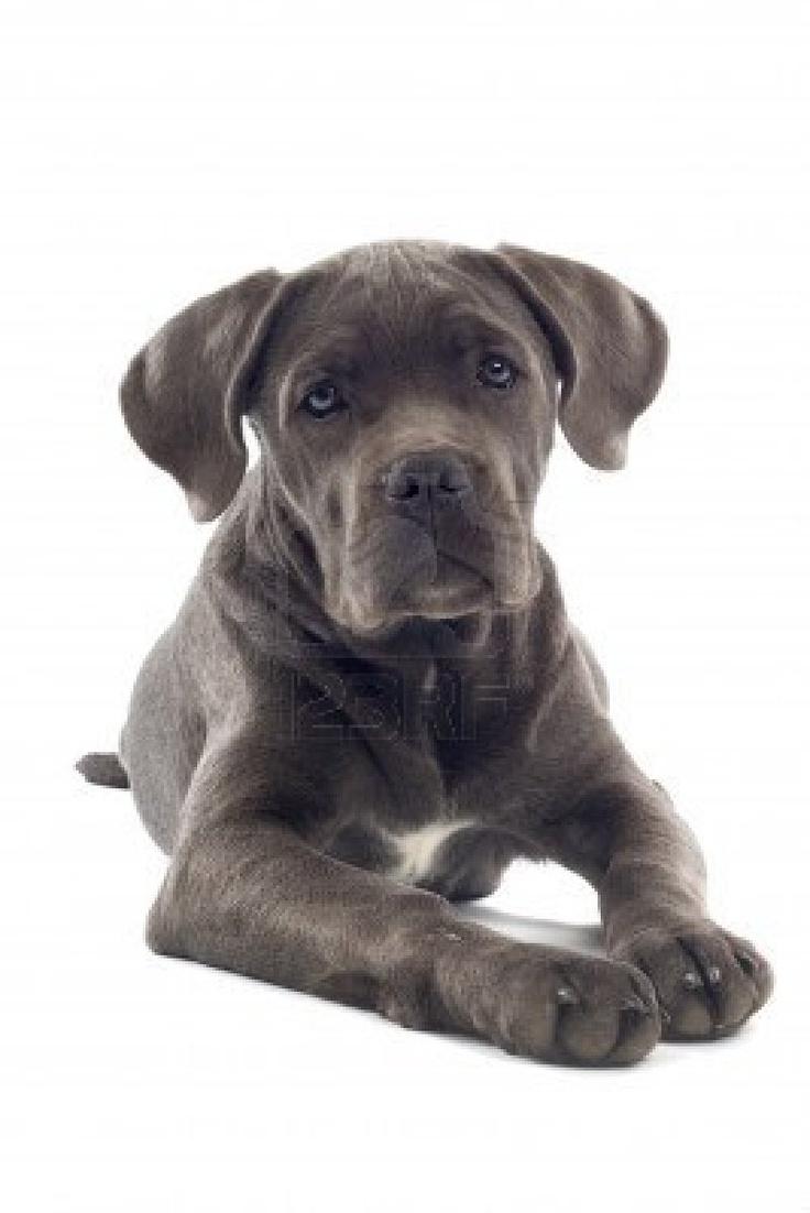 Cane Corso pup, cutest ever...