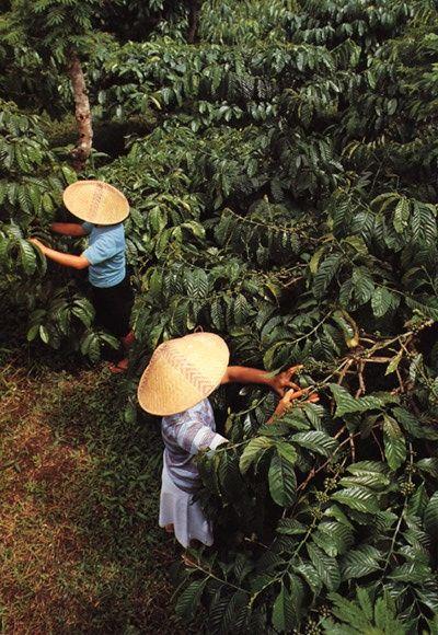 java coffee plantation