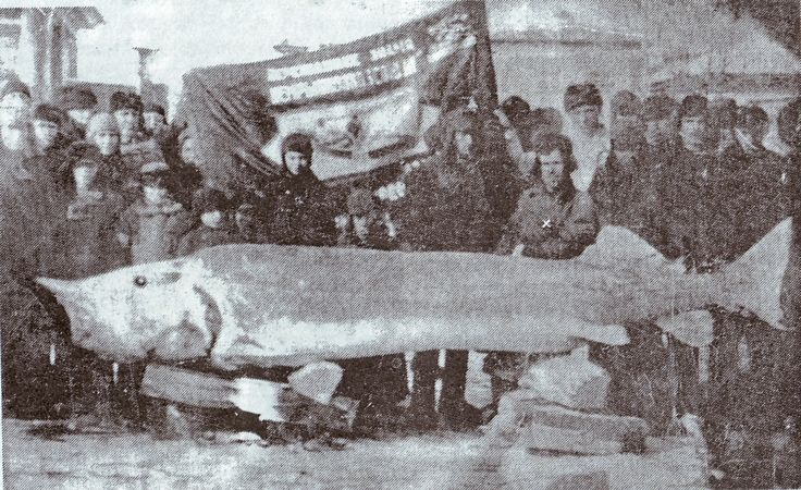 Самая крупная в мире пресноводная рыба — белуга. Длина гиганта превышала иногда 9 м. Относящаяся к тому же семейству калуга перерастает в некоторых случаях 6 м. Длина обыкновенного сома может превышать 5 м