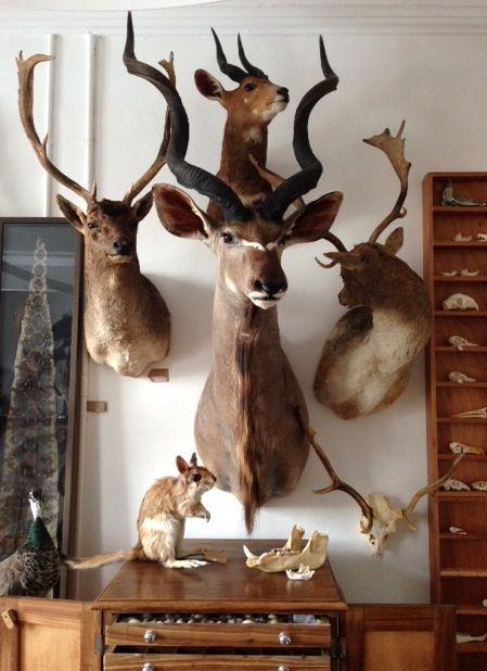 Trophy Room Design Ideas: Taxidermy Kudu, Bushbuck And Fallow Deer. Mandibles, Cape