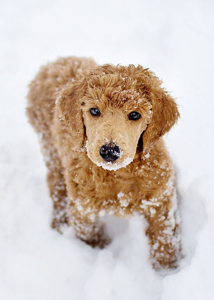 Apricot standard poodle 9 weeks Elliot | My Standards ...
