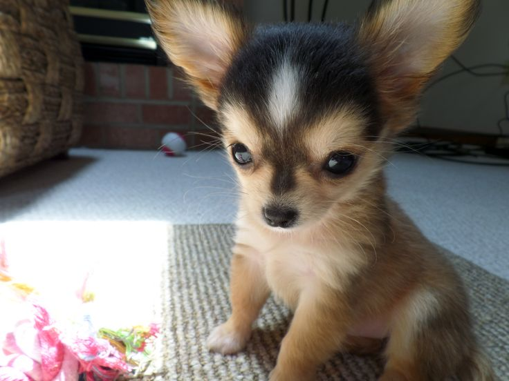 Chihuahua Puppies For Sale Mombasa Kenya